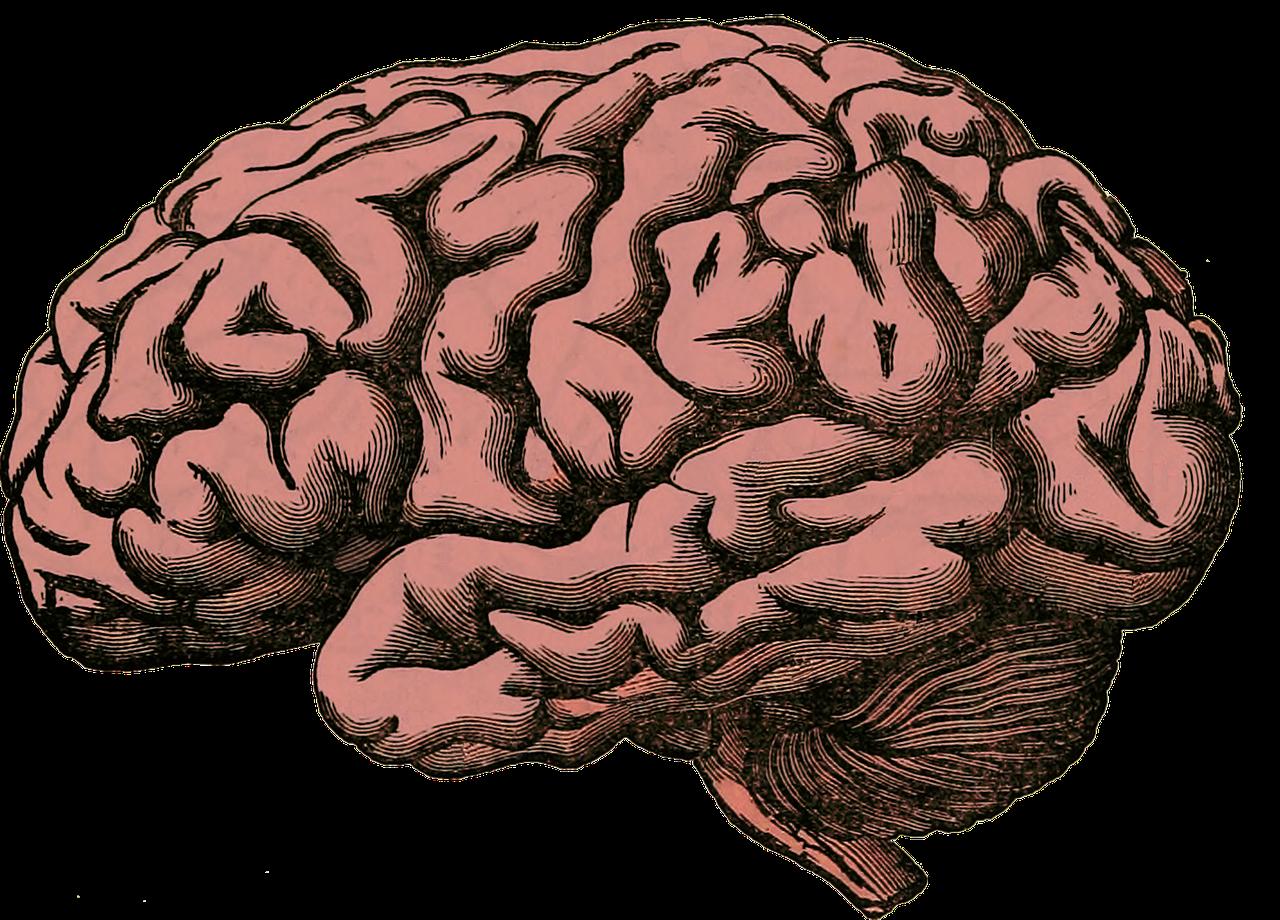 картинка мозга человека картинки