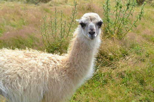 Lama, Naturaleza, Blanco, Camélido