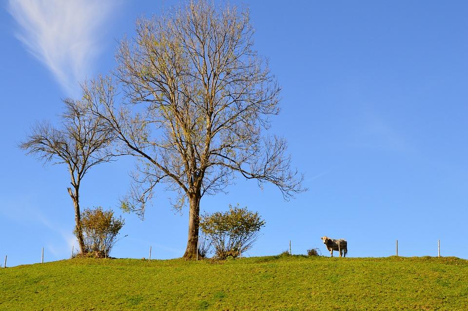 la vache arbre ciel ciel bleu lautomne - Arbre Ciel