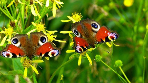Πεταλούδες, Έντομο, Φύση