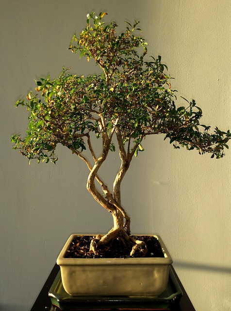 kostenloses foto bonsai leafs gr n baum pflanze kostenloses bild auf pixabay 514906. Black Bedroom Furniture Sets. Home Design Ideas