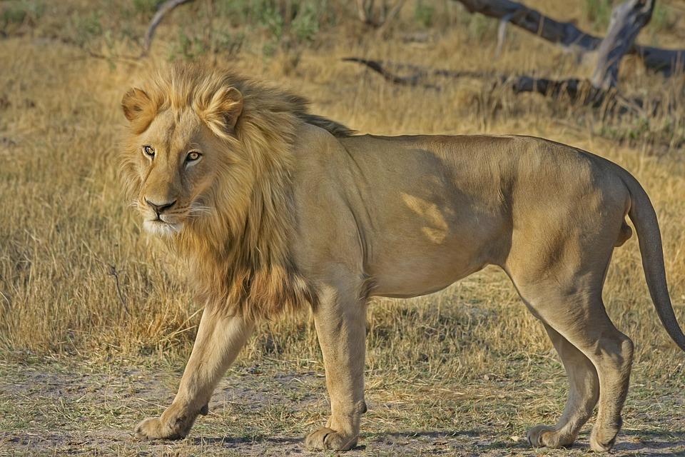Lion, Fauve, Safari, Afrique, Monde Animal, Faune