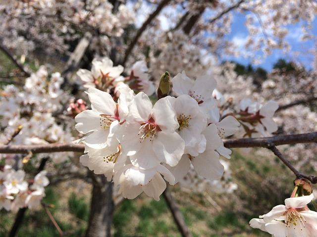 cherry blossom flower sakura free photo on pixabay