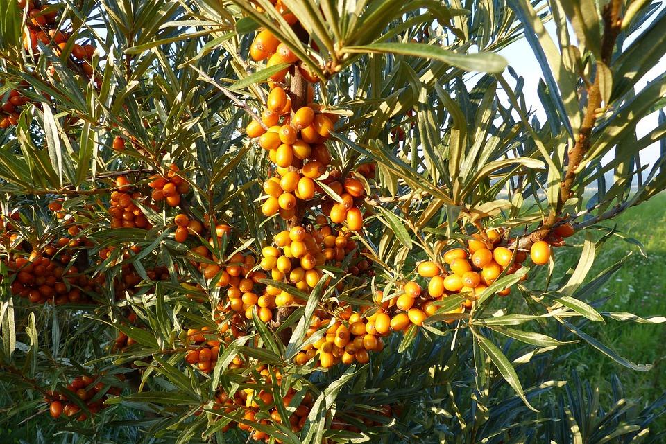 Selenio Řešetlákový Arbusto Frutas - Foto gratis en Pixabay