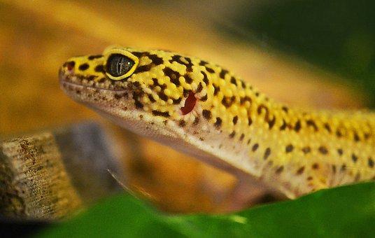 Gecko, Leopard Gecko, Lizard, Reptile
