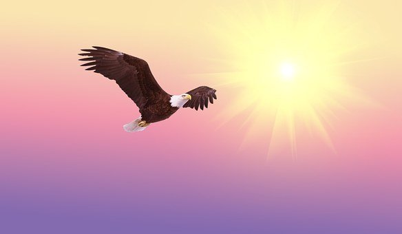 Bald Eagle Soaring Bird Raptor Flight Natu