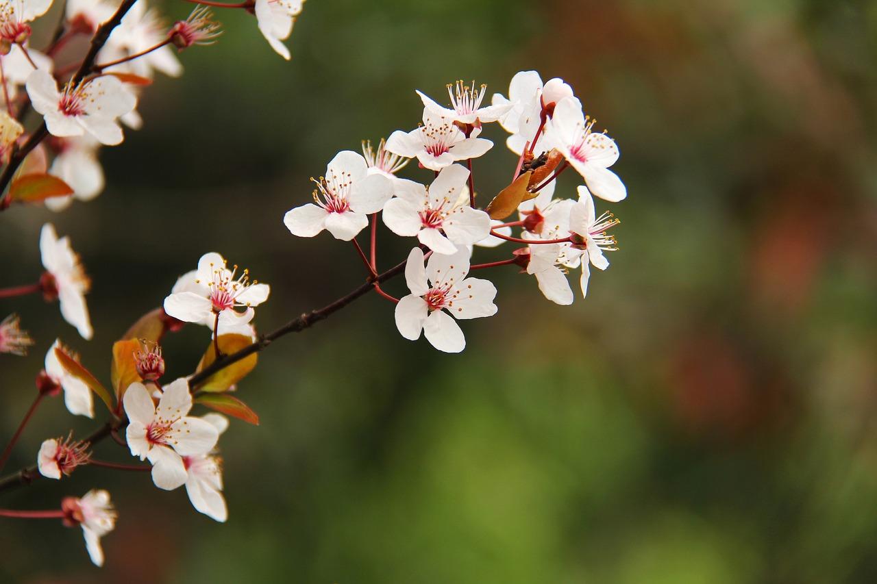 Фото с цветущими вишнями многие