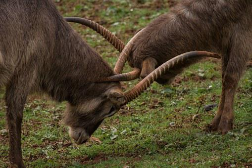 Animal, Nature, Horns, Mount, Mountain