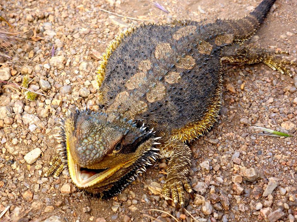 lizard bearded dragon australian 183 free photo on pixabay