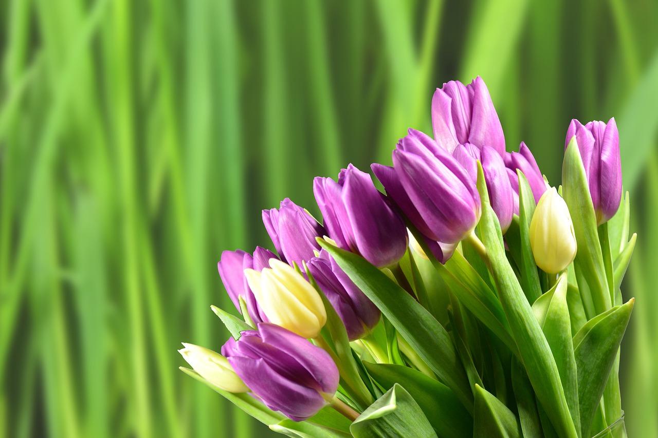 Красивыми картинками, фон для поздравления тюльпаны