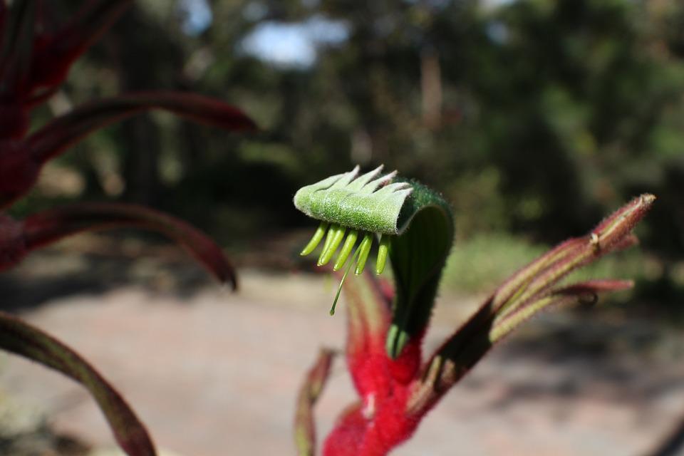 Plantes Patte De Kangourou Nature Photo Gratuite Sur Pixabay