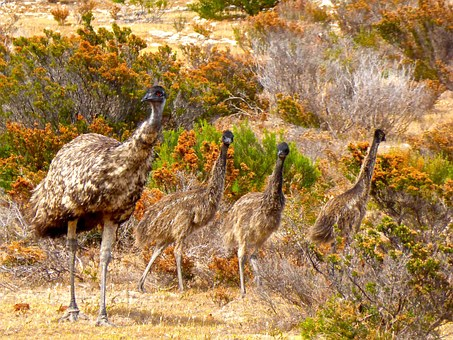 Emus, Birds, Flightless, Australia, Big