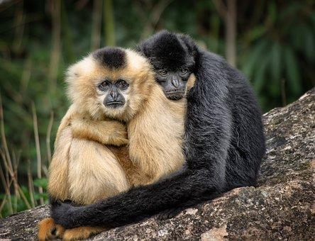 Ape, Hug, Affection, Embrace, Zoo