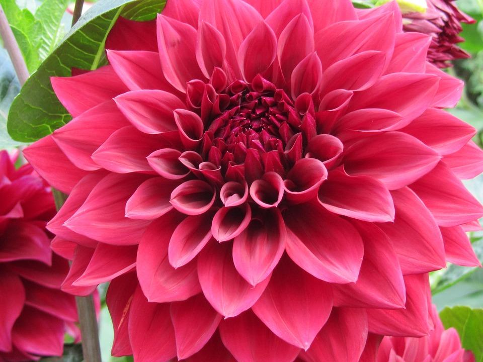 Dahlia Fleur Rose Photo Gratuite Sur Pixabay