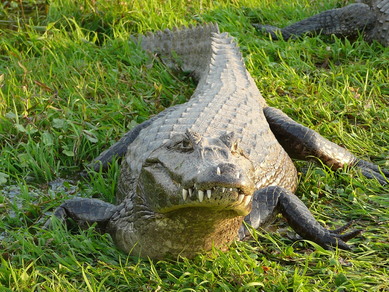 Free pictures of alligators Animal Books for Kids: All About Alligators and
