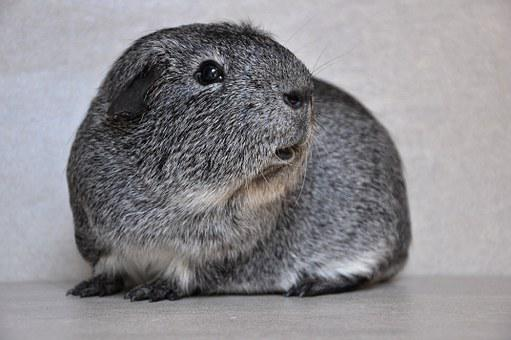 Guinea Pig, Smooth Hair, Black And White