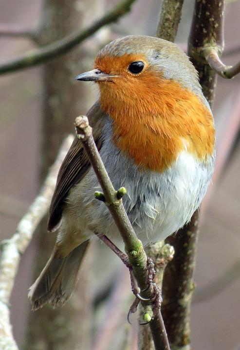 Robin, Rotkehlchen, Erithacus Rubecula, Rot, Winter