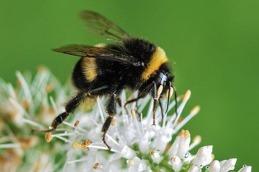 Bee, Bumblebee, Flower, Macro, Garden