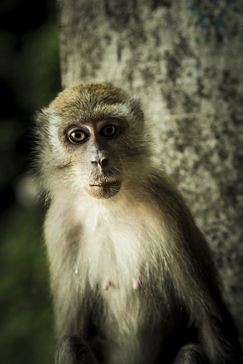 Соски у обезьян