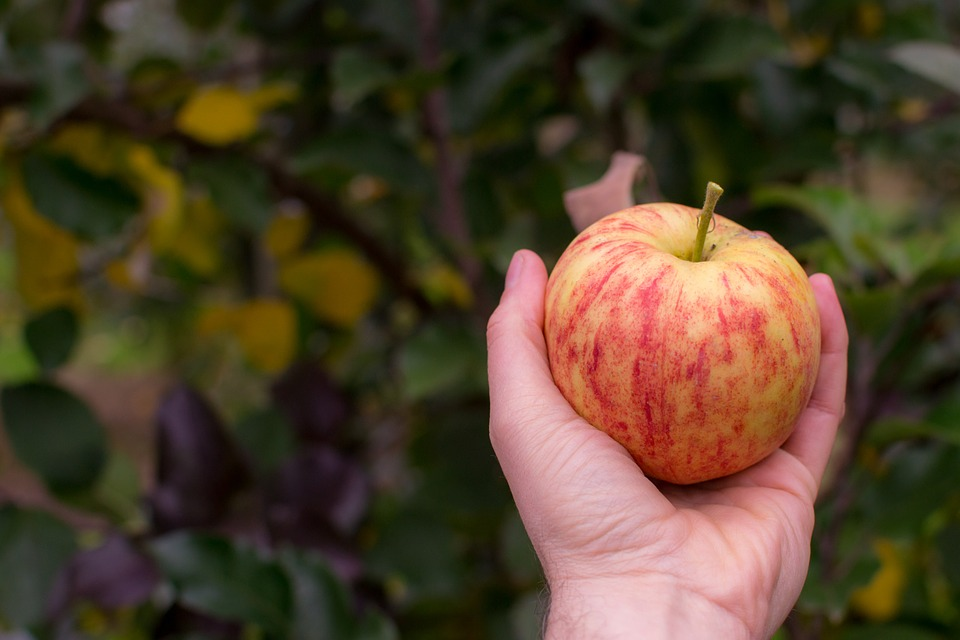 picking apples in guilford