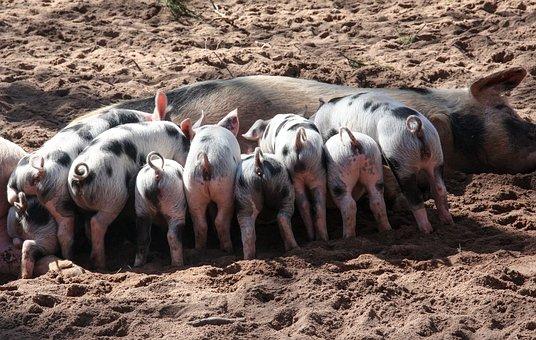 Pig, Domestic Pig, Suckle, Piglet