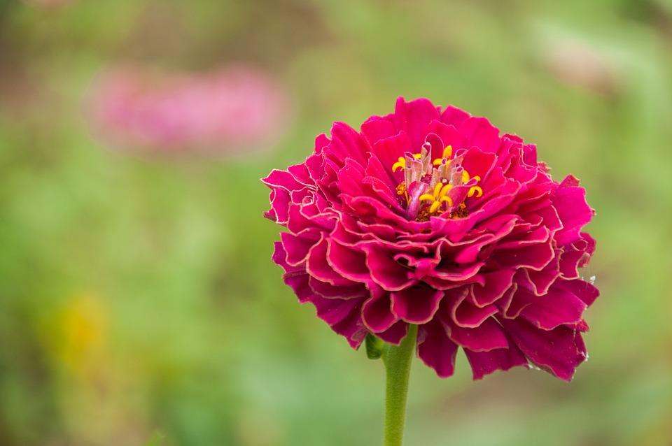 Pianta Fiori Rossi.Fiore Fiori Pianta Foto Gratis Su Pixabay