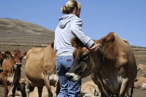 Mujer, Vacas, Jerseys, Granja, Lácteos
