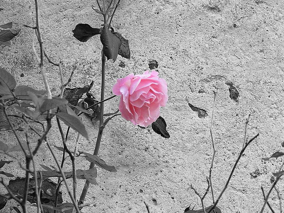 100 Rosa In Bianco E Nero E Fiore Immagini Gratis Pixabay