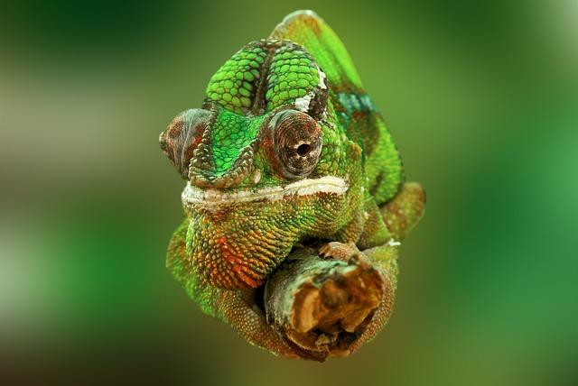 free photo  chameleon  reptile  lizard  green