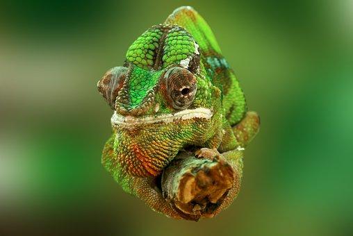 Chameleon, Reptil, Lagarto, Verde