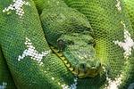 snake, python, animal