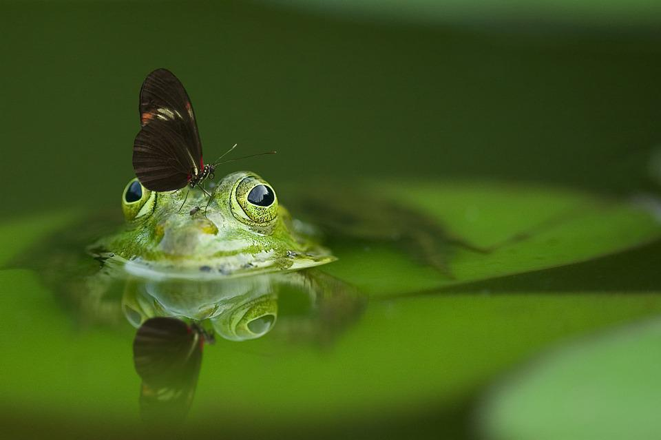 Frog, Butterfly, Pond, Mirroring, Water, Reflection