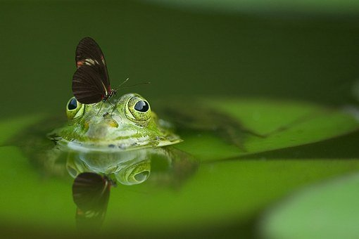 Frog, Butterfly, Pond, Mirroring, Nature