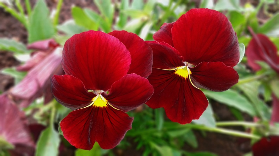 Free photo: Pansy, Red...