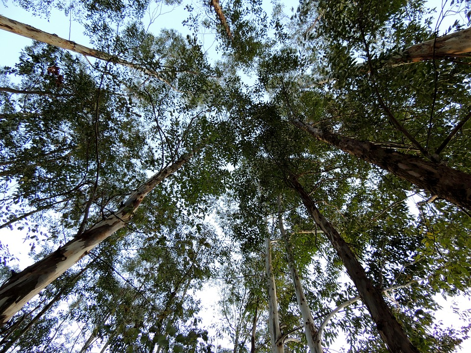 Eucalyptus Trees Plantation Free Photo On Pixabay