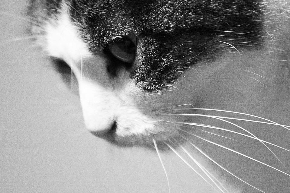 Cat Black And White Noise - Free photo on Pixabay