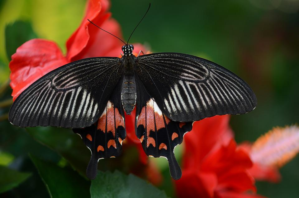 Butterfly Black Red Free Photo On Pixabay