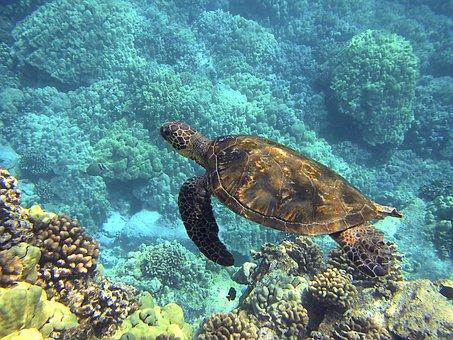 Sea Turtle Hawaiian Sea Turtle Green Sea T