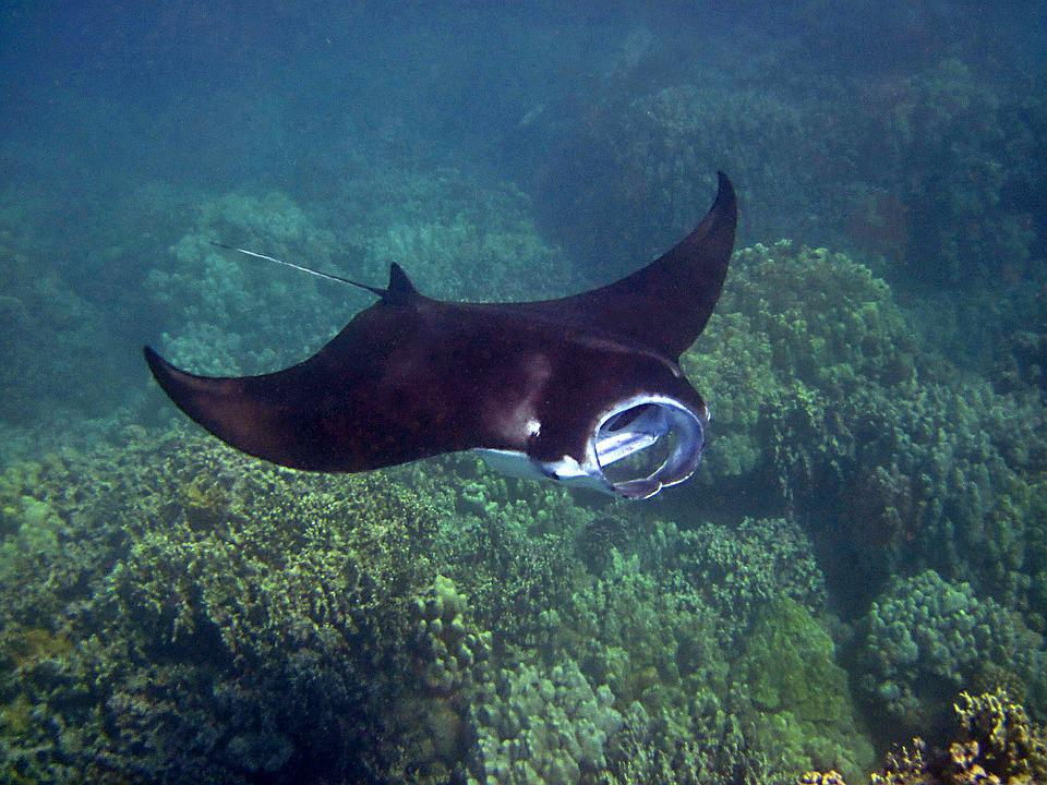 Mantarraya, Manta, Hawaii, Ray, Submarino, Tropicales