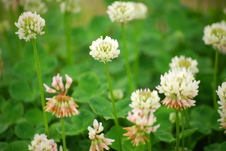シロツメクサの花言葉と由来|花冠/クローバー/四葉のクローバー