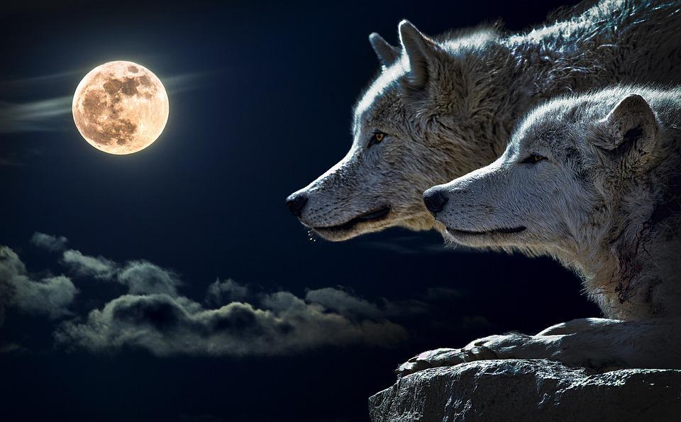 Wolf, Koppel Wolf, Maan, Wolk, Hemel, Natuur