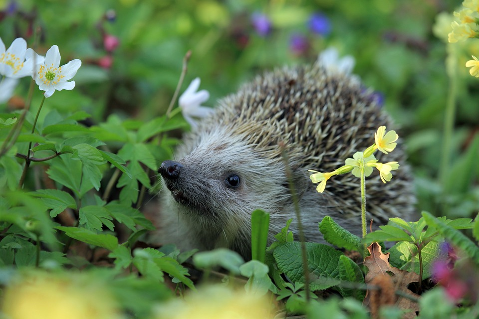 Free photo hedgehog spring animal free image on for Adaptacion jardin
