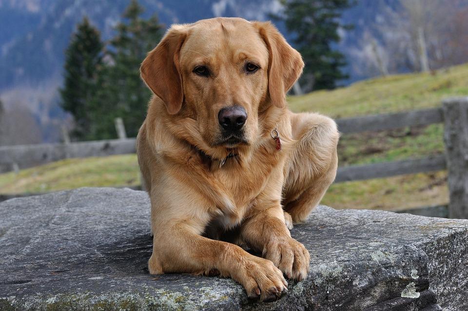 Hund, Labrador, Fell, Haustier, Liegend