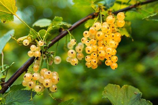 Johannisbeere, Früchte