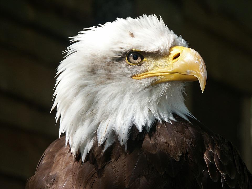 Bald Eagle, Adelaar, Raptor, Snavel, Veren, Dierlijke