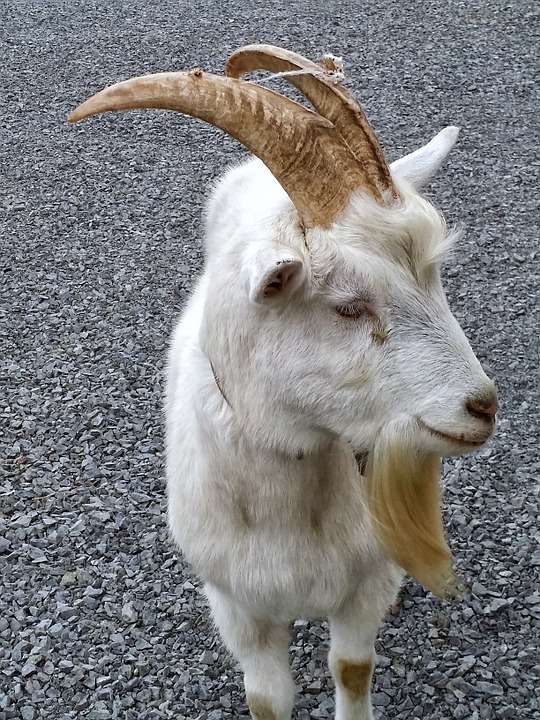 Goat White Animal Free Photo On Pixabay