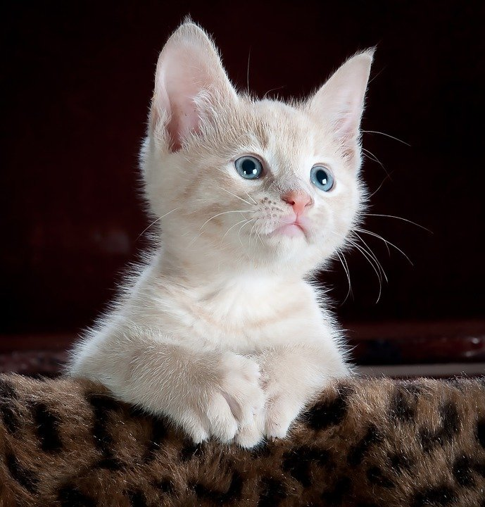 Gato, Gatito, Mascota, Kitty, Gato Joven, Animales