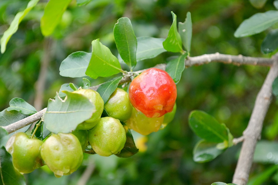 Frutas, Acerola, Verde, Brasil, Frutta, Ciliegia