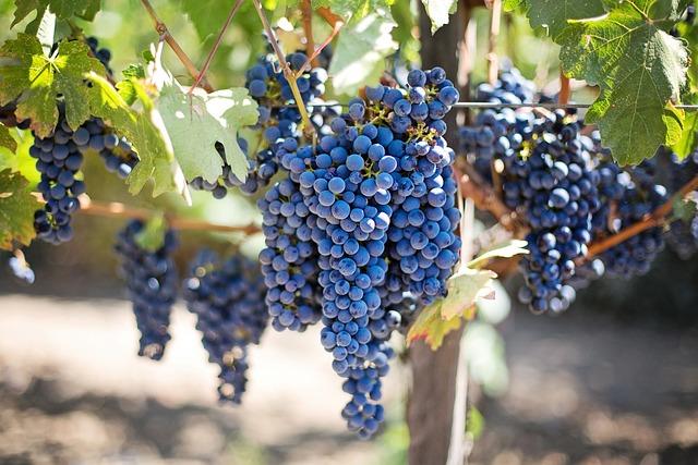 Free Photo Purple Grapes Vineyard Free Image On