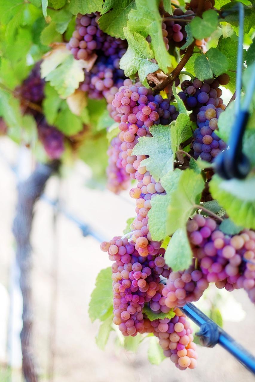 Картинки виноградной лозы с виноградом, открытка